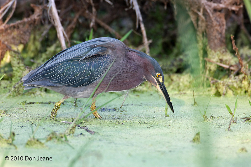 Green Heron, Sabine Woods, 4/21/2010.