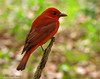 Summer Tanager, Sabine Woods, 4/16/2012.