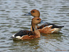 Fulvous Whistling-Ducks, private pond, Sabine Pass.