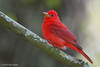 Male Summer Tanager, Sabine Woods, 4/21/2010.