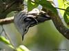 Black and White Warbler, Sabine Woods, 04/28/08.