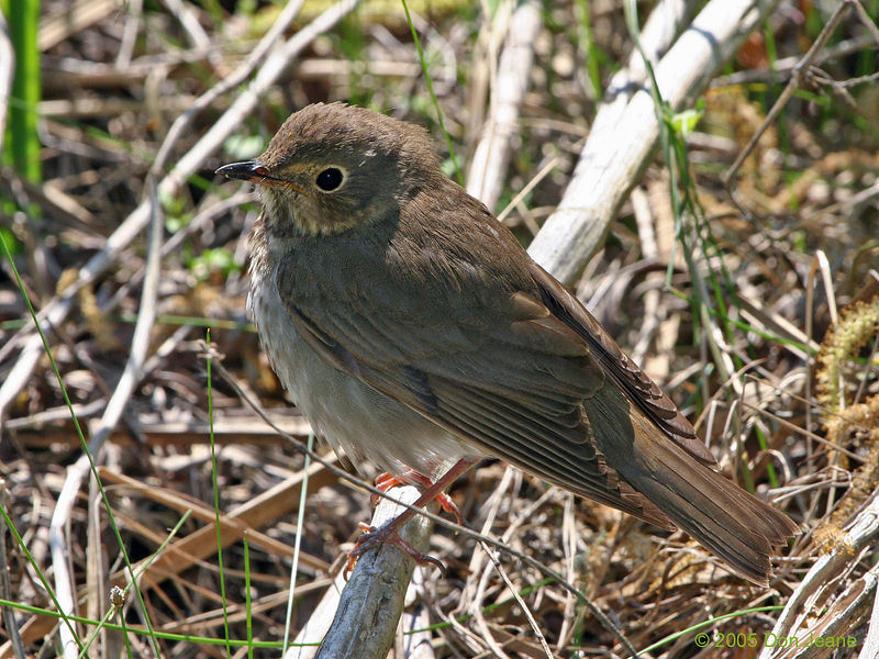 Swainson's Thrush at the Willows, Sea Rim St Park.