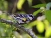 Yellow-rumped Warbler, Sabine Woods, 4/11/2008.