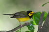Hooded Warbler, Sabine Woods, 4/21/2010.