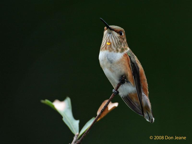 Rufous Hummingbird, Hardin County, 09/08/08.