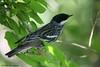 Blackpoll Warbler, Sabine Woods, 04/28/08.