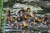 Mottled Duck ducklings, Sabine Woods, 4/20/2010.