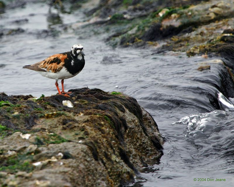 Ruddy Turnstone - Bolivar Ferry Landing, Aug, 2004.