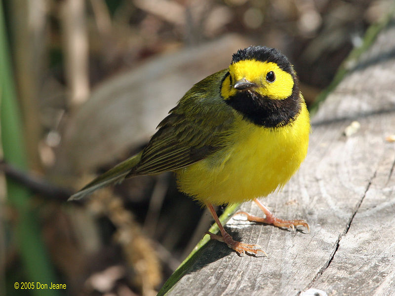 Hooded Warbler at the Willows, Sea Rim St Park.