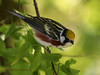 Chestnut-sided Warbler, Sabine Woods, 04/28/08.