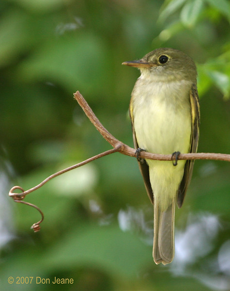 Empid - Probably Yellow-bellied Flycatcher, Sabine Woods. April 2007.