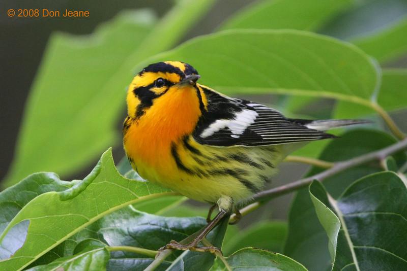Blackburnian Warbler, Sabine Woods, 04/28/08.