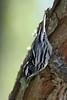 Another nice Black and White Warbler, The Willows, 04/19/08.