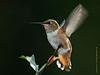 Rufous Hummingbird, Hardin County, 09/09/08.
