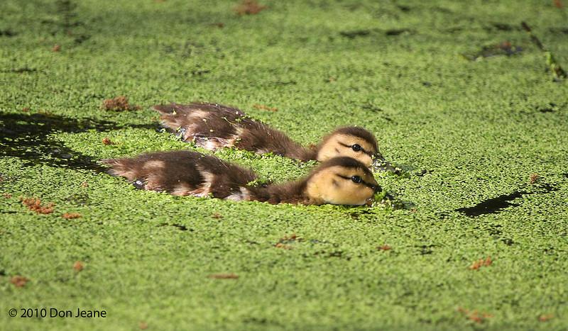 Mottled Duck ducklings, Sabine Woods, 4/22/2010. Little bull-dozers.