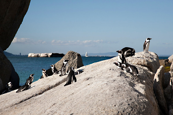 Jack-ass penguins in South Africa.