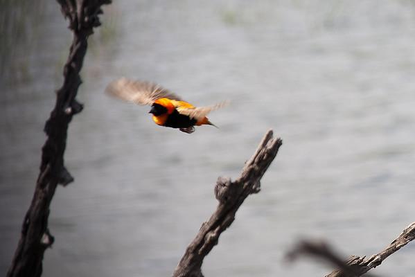 Orange bishop, small bird that flies fast zigzag.