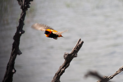 Orange bishop, small bird that flies fast zigzag.
