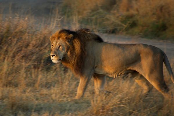 Lion in morning walk in Serengeti nature park.