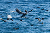 Black-vented Shearwters, Brown Pelican Heermann's Gulls, California Sea Lion