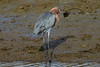 Reddish Egret, Bolsa Chica Ecological Reserve,  29 December 2014