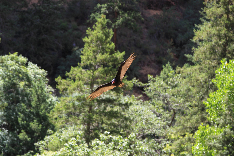 Turkey vulture at Zion national park.