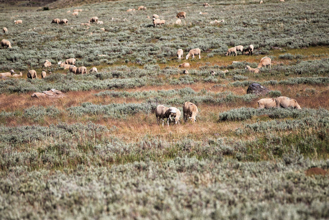 Sheep in the Dixie National Forest, Utah.