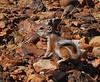 Antelope Squirrel, AZ (4)