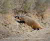 Am Badger, Sand Wash Basin CO (6)