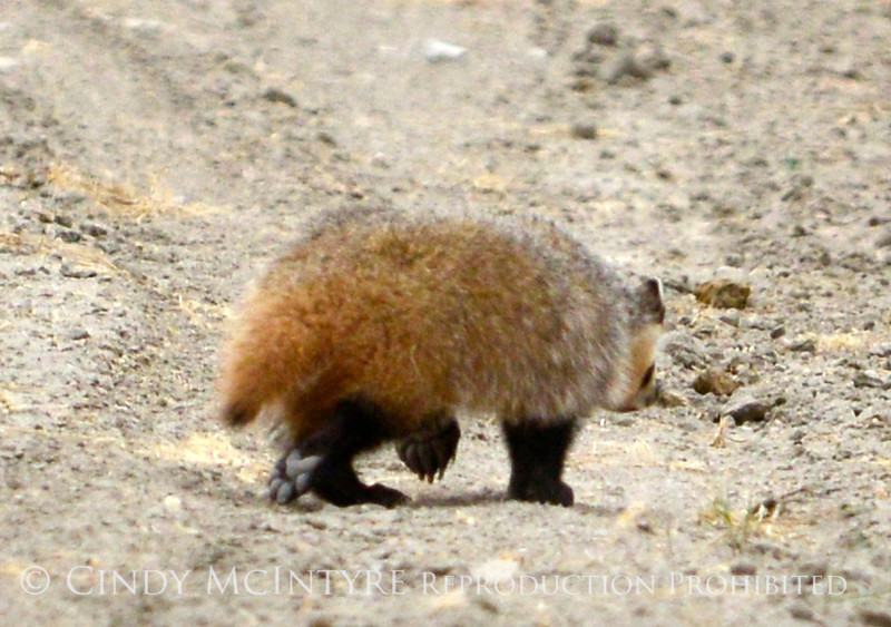 Am Badger, Sand Wash Basin CO (1)