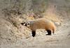 Am Badger, Sand Wash Basin CO (4)