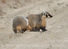 Am Badger, Sand Wash Basin CO (7)
