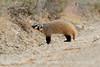 Am Badger, Sand Wash Basin CO (5)