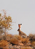 Black-tailed Jackrabbit, NM (3)