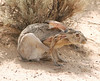 Black-tailed Jackrabbit, NM (17)