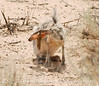 Black-tailed Jackrabbit, NM (8)