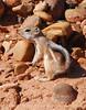 Antelope Squirrel, AZ (2)