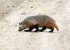 Am Badger, Sand Wash Basin CO (2)