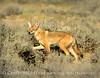 Coyote, Sand Wash Basin, CO