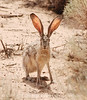 Black-tailed Jackrabbit, NM (11)