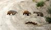 Am Badger, Sand Wash Basin CO (3)