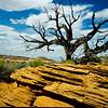Juniper tree, Escalante, Utah