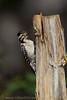 Ladder-backed Woodpecker female