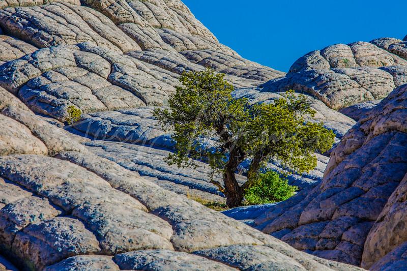 Lone Tree in white rock Arizona 2