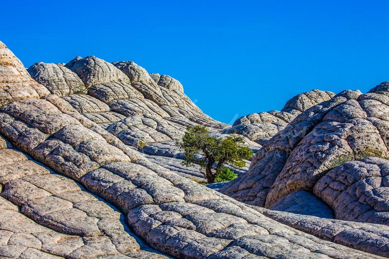 Lone tree in White Rock