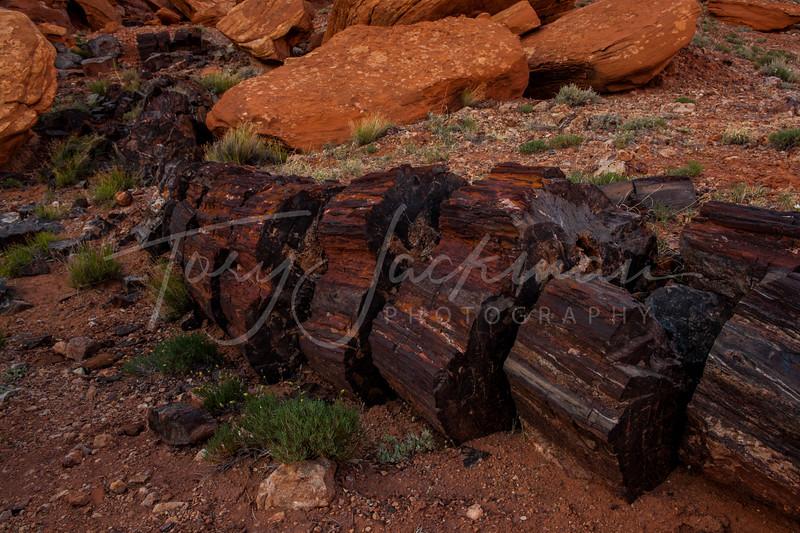 Petrified Wood, Escalante, Utah