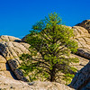 Lone Pine in White Rock AZ