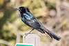 Boat Tailed Grackle ... love their vocalizations