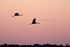 Sandhill Cranes flying into roost at the Click Ponds...there were several hundred there.