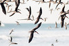 """Black Skimmers!  The only bird in North America who's lower bill is longer than it's upper...and I love the little """"barks"""" they make."""